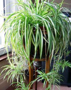 хлорофитум, козлобородник, красивые цветы, домашние цветы, ампельные растения